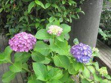稲毛寺院 庭木開花状況
