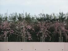 開花情報160404-1